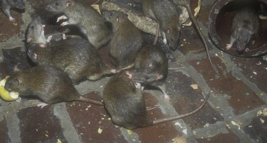 уничтожение крыс в Раменском